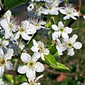 Pear Tree Blossoms Iv by Betty Northcutt