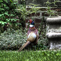 Peasant Pheasant by Chris Fleming