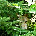 Peeking Out Wolf by Debra     Vatalaro