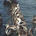 Pelican Line by Wendell Baggett
