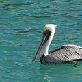 Pelican by Michelle Powell