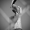 Pelican Perched by Megan Verzoni