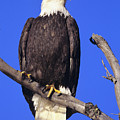 Perched Bald Eagle by John Hyde - Printscapes