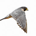 Peregrine Falcon Bird by Bmse