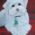 Pet Portrait Painting Commission Maltese Dog  by Sharon  Lamb