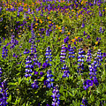 Phacelia Poppies Lupines by Greg Clure