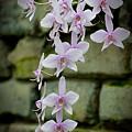 Phalaenopsis Orchid 2 by Michael Cummings
