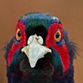 Pheasant by Bob Kemp