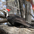 Pileated Woodpecker by Doris Potter