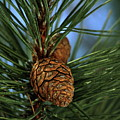 Pine Cone 2 by Marjorie Imbeau