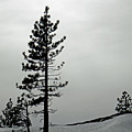 Pine In Snow by Frank Wilson
