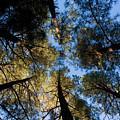 Pine Trees Near Ruidoso Nm by Matt Suess