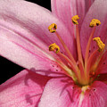 Pink Asiatic Lily by Judi Quelland