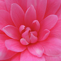 Pink Camellia by Juergen Roth