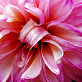 Pink Dahlia by Marilyn Hunt