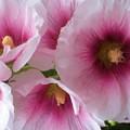 Pink-faced Hollyhocks by Liz Evensen