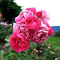 Pink Floribunda Roses by Will Borden