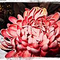 Pink Flower by Joan  Minchak