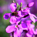 Pink Flowers With Bee . 40d4803 by Wingsdomain Art and Photography
