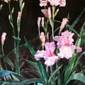 Pink Irises by Bill Meeker