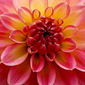 Pink Petals by Sonja Anderson