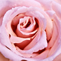 Pink Pink Rose by Svetlana Sewell