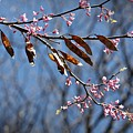 Pink Redbud Tree Blossoms- Fine Art by KayeCee Spain