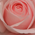 Pink Rose by Brian Roscorla