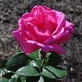 Pink Rose by Luke Moore