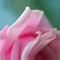 Pink Rose  by Norah Holsten