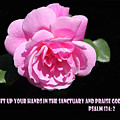 Pink Rose Psalm 134 Vs 2 by Linda Phelps