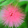 Pink Spikes by Kathleen Struckle