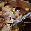 Pink Trillium In Lost Valley by Michael Dougherty