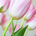 Pink Tulip Flowers by Julia Hiebaum