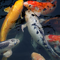 Playing Koi by Jean Haynes