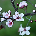 Plum Tree Blossom by Marie Janssen