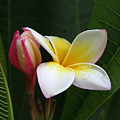 Plumeria Bloom by Gary Hughes