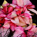 Poinsettia by Lyle  Huisken