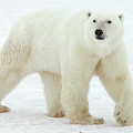 Polar Bear Ursus Maritimus Male by Matthias Breiter