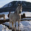 Polish Arab Horse Family by Daniel Hebard
