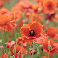 Poppies H by Phil Crean