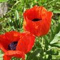 Poppies by Jackie Mueller-Jones