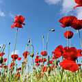 Poppies Season by Evgeni Dinev