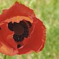 Poppy by Yolanda Lange