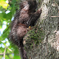 Porcupine In Sherbrooke Quebec by Pierre Leclerc Photography