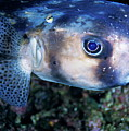 Portrait Of A Freckled Porcupinefish by Sami Sarkis