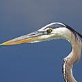 Portrait Of A Great Blue Heron by John Harmon