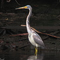Portrait Of A Tri-colored Heron by Barbara Bowen