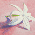 Portrait Of The Jasmine Flower by Usha Shantharam
