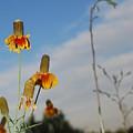 Prairie Cone Flowers Against Blue Sky Vertical Number Two by Heather Kirk